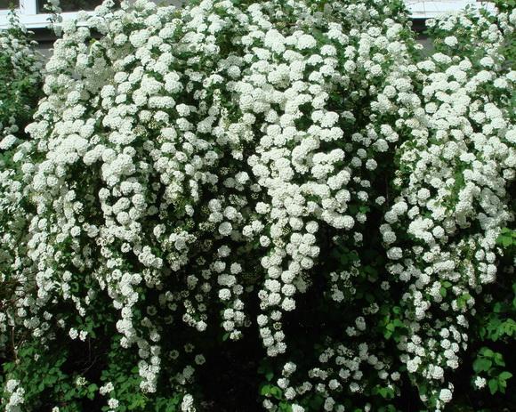 Кустарники с цветками 43