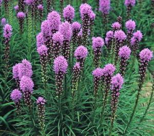 Floristan Violett