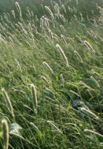 лисохвост луговой