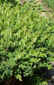 карликовые виды ивы