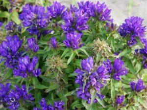купить Многолетник до 100 см высотой, листья длинные и узкие, цветет в июне -июле крупными колокольчиками (5 — 6 см), собранными в метельчатые соцветия, в бело — синей гамме. Цена 230 руб. Колокольчик скученный «Бельфлер Блу»
